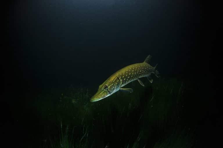 brochet sous l eau