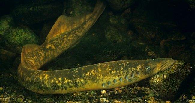 lamproie-marine